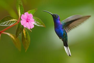Hummingbird Violet Sabrewing flying next to beautiful pink flower