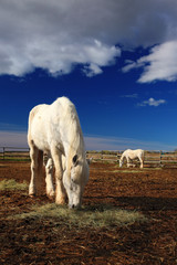 Nice white horse feed on hay with horse in background, dark blue sky with clouds