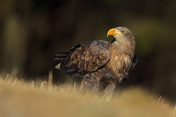 Big bird of prey White-tailed Eagle sitting on the meadow with nice sun light