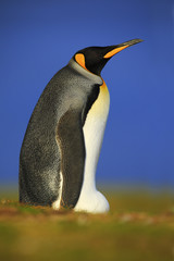 King penguin, Aptenodytes patagonicus sitting in grass with blue sky, Falkland Islands