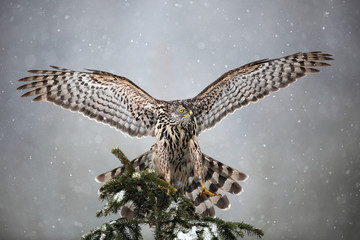 Goshawk landing on spruce tree during winter with snow