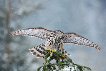 Bird of prey Northern Goshawk landing on spruce tree during winter with snow