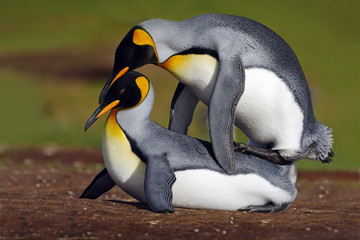 Mating king penguins with green background, Falkliand Islands