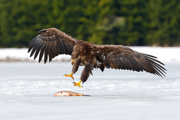 Golden Eagle with catch fish in snowy winter, snow in the forest habitat, landing on ice