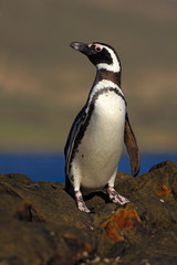 Magellanic penguin, Spheniscus magellanicus, bird on the rock beach, ocean wave in the background, Falkland Islands