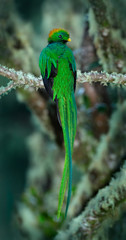 Resplendent Quetzal, Pharomachrus mocinno, magnificent sacred green bird with very long tail from Savegre in Costa Rica