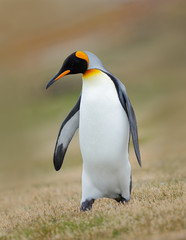 King penguin, Aptenodytes patagonicus, in the grass, Falkland Islands