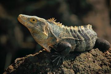 Reptile Black Iguana, Ctenosaura similis, sitting on black stone