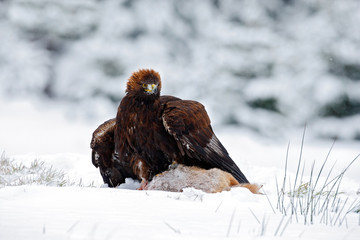 Golden Eagle with catch hare in snowy winter, snow in the forest habitat