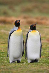 King penguin pair in wild nature with green grass background
