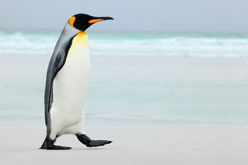 Fotobehang Pinguin Big King penguin going to blue water, Atlantic ocean in Falkland Island, coast sea bird in the nature habitat