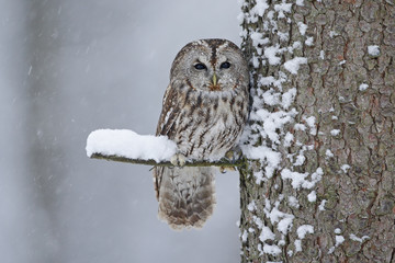 Tawny Owl snow covered in snowfall during winter, tree trunk with snow