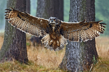 Flying Eurasian Eagle Owl with open wings in forest habitat with trees, wide angle lens photo