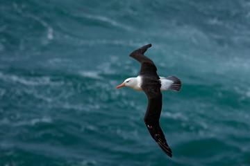 Black-browed albatross, Thalassarche melanophris, bird flight, wave of the Atlantic sea, on the Falkland Islands