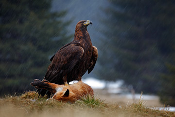 Golden Eagle, feeding on kill Red Fox in the forest during the rain