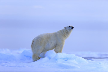 Big polar bear on drift ice with snow, blurred sky in background, Svalbard, Norway