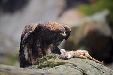 Golden Eagle, Aquila chrysaetos, feeding on kill Deer in the rock stone mountains