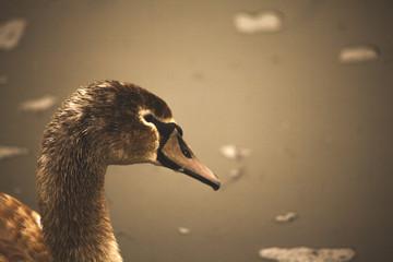 Photo Blinds Swan jonge zwaan