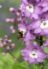 Purple Delphinium Flower in Garden