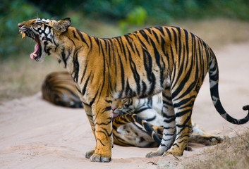 Group of wild tigers on the road. India. Bandhavgarh National Park. Madhya Pradesh. An excellent illustration.