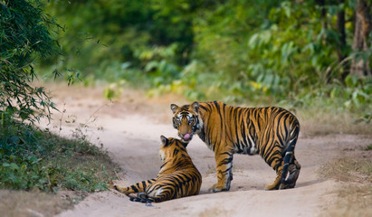 Two wild tiger on the road. India. Bandhavgarh National Park. Madhya Pradesh. An excellent illustration.