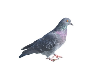 the big Beautiful pigeon