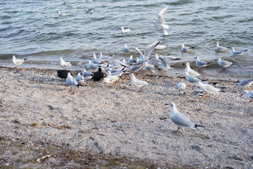 several seagulls coming for feeding at the border of the lake
