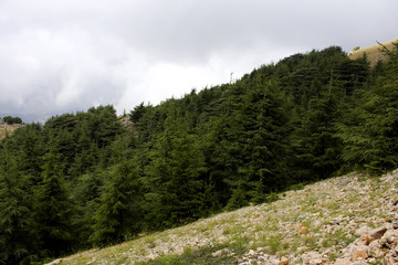 Mountains of Lebanon were once shaded by thick cedar forests and the tree is the symbol of  country. After centuries of persistent deforestation, extent of these forests has been markedly reduced