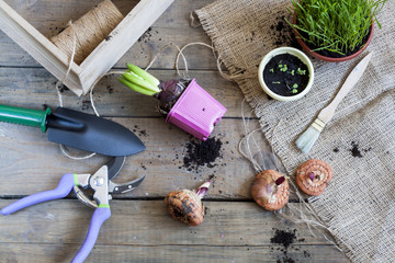 Gardening tools, tubers (bulbs) gladiolus, hyacinth and herbs on dark wooden table