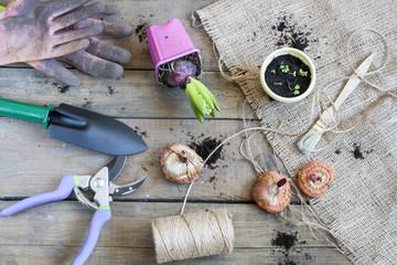 Gardening tools, tubers (bulbs) gladiolus, hyacinth and herbs on dark wooden table