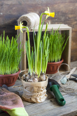 Gardening tools, greens in pots and yellow narcissus on dark wooden table