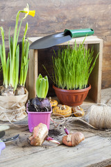 Gardening tools, greens in pots, tubers (bulbs) gladiolus, hyacinth and yellow narcissus on dark wooden table