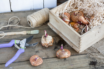 Gardening tools, tubers (bulbs) gladiolus on dark wooden table