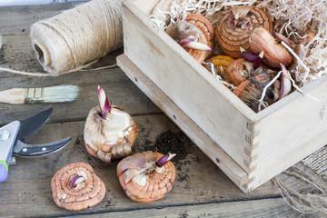 Gardening tools, tubers (bulbs) gladiolus on dark wooden table