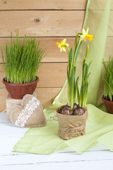 Yellow daffodil and fresh herbs in pots and handmade Valentines Day hearts on a light wooden background