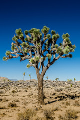 Fototapete - Close Up of Joshua Tree on Clear Day