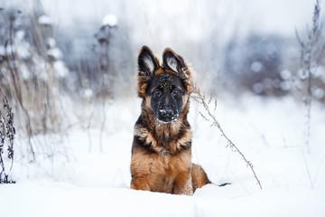 puppy breed German Shepherd walking