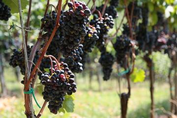 Rotweintrauben vor der Ernte in der Südsteiermark