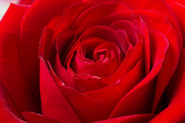 Dark red rose in macro scale