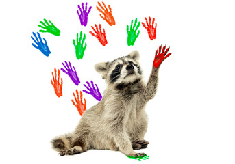 Raccoon sitting  on the background of handprints