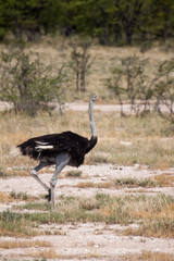 Male Ostrich Running through Savannah in Etosha National Park, Namibia