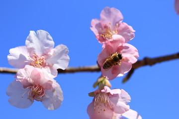 Wall Mural - 桜とミツバチ 南郷城