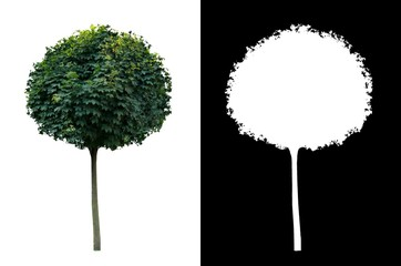 Decorative evergreen tree 2. Decorative evergreen plant on white background with alpha channel mask