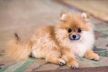 Pomeranian baby spitz at home