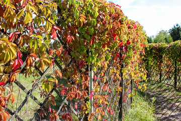 Leaves parthenocissus on the fence. Alive maze