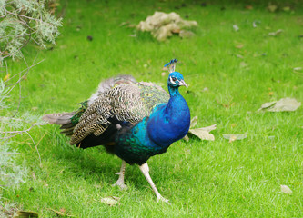 peacock (Pavo cristatus) closeup walking on green grass