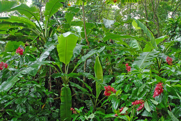 Wet plants in a lush tropical rain forest after rainstorm in the jungle Costa Rica, a source for many medicinal plants used in medicine, medical research and drug development