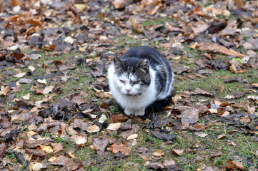 cat sitting in the leaves, autumn