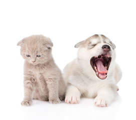 Yawning Siberian Husky puppy dog and small scottish cat together