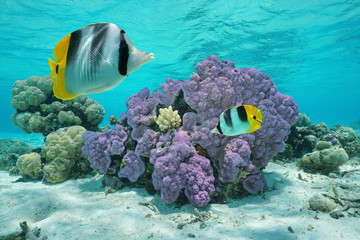 Purple coral underwater with two tropical fish
